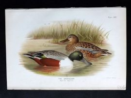 Baker & Gronvold Indian Ducks 1908 Antique Bird Print. The Shoveller
